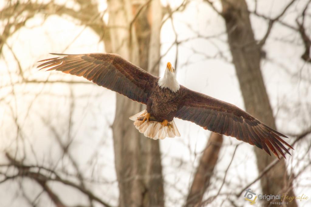 Bald Eagle w/ fish in talons