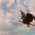 How to photograph the American Bald Eagle